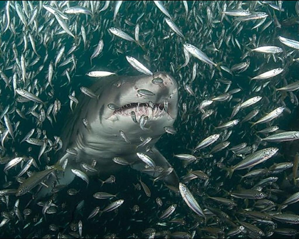 other-sharks-shark-fish_303616