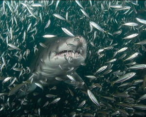 other-sharks-shark-fish_303616