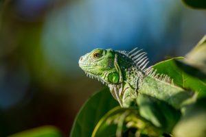 lizard-731336_1280