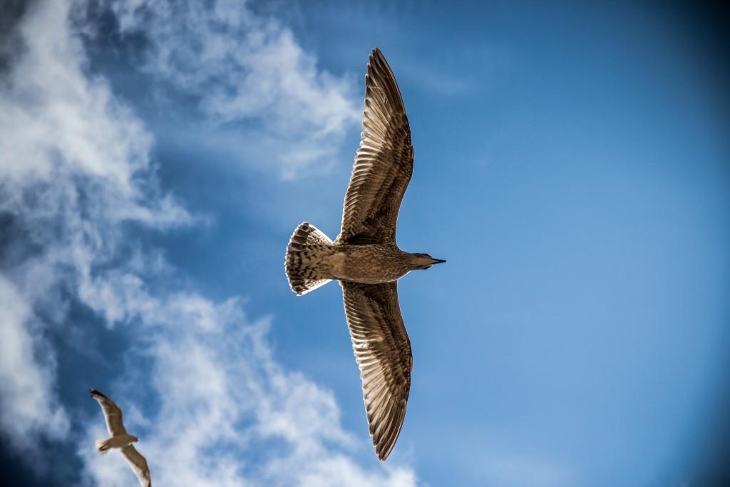 sea-gull-bird-sky-nature