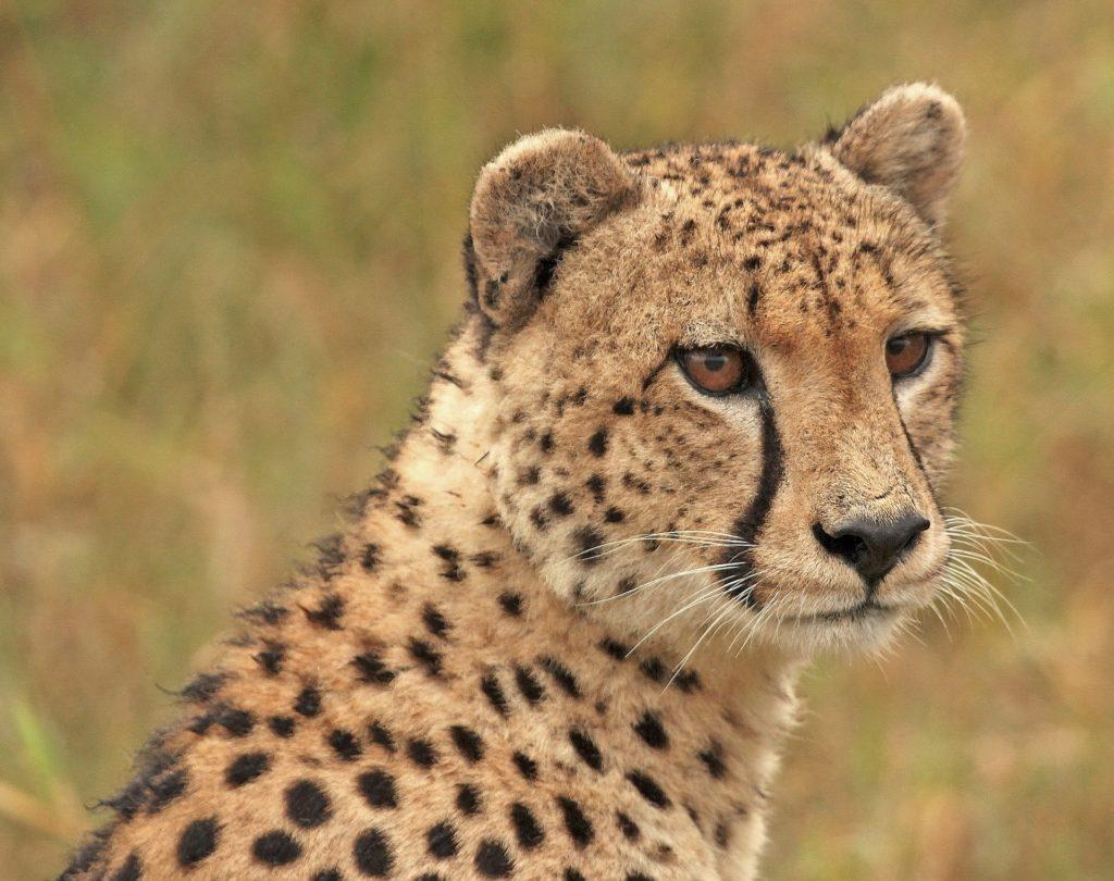 cheetah-1036449_1920